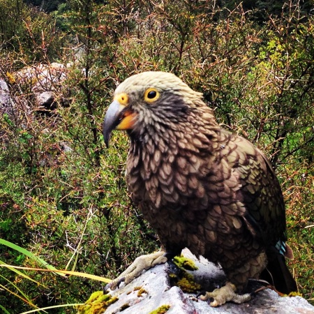 A Kea Bird